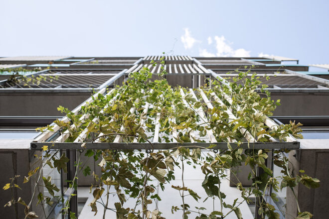 A wall with climbing green plants. Picture has been taken from down-up, towards the sky.
