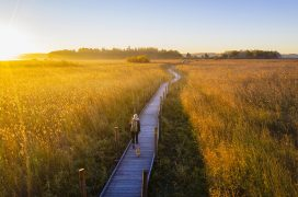 A pathway built of wooden boards in the midst of a field of reeds coloured golden by the rising sun. A person carrying a rucksack walking a dog.